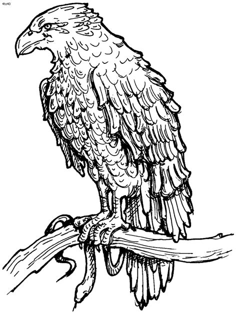 hawk coloring pages    print