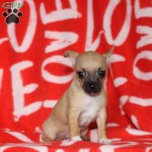 chihuahua puppies for sale in md chihuahua puppies for sale in de md ny nj philly dc and baltimore