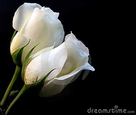 imagenes de rosas blancas bonitas dos rosas blancas fondo negro tulipanes pinterest