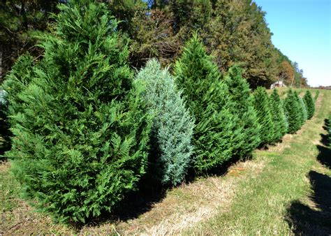 christmas tree demand high extra rains help growers