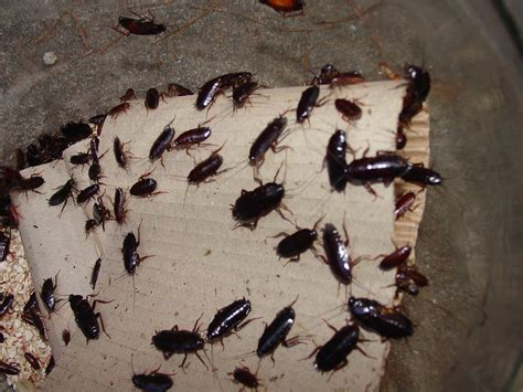 do bed bugs come out in light waterbug cockroaches facts prevention roach control