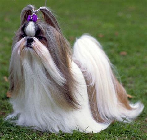 how to look after a shih tzu puppy shih tzu cozy crates
