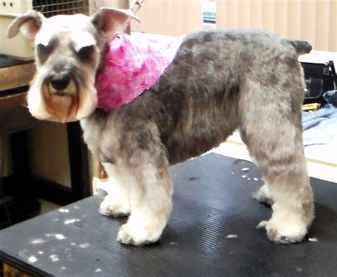 haircuts pet motel and salon schnauzer without haircut haircuts models ideas