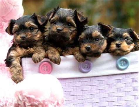 teacup yorkies information terriers yorkie puppies breeder information san diego