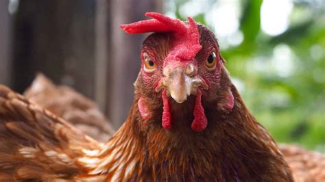 salmonella in backyard chickens salmonella from backyard chickens sicken 4 in ore 11 in