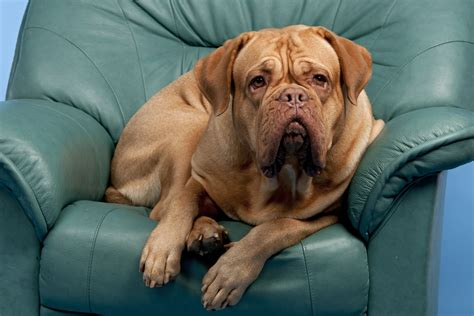 dog pee on leather couch how to clean pet urine from leather furniture