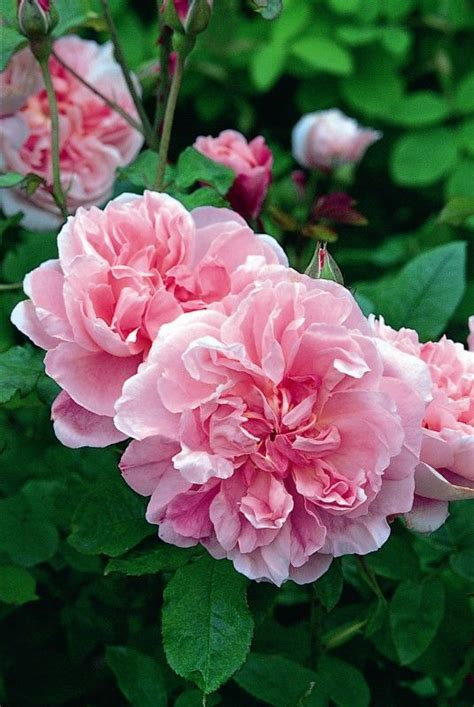 Rosa Cottage by Rosa Cottage Roses
