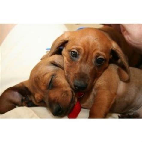 dachshund puppies va dachshund doxie breeders in virginia freedoglistings