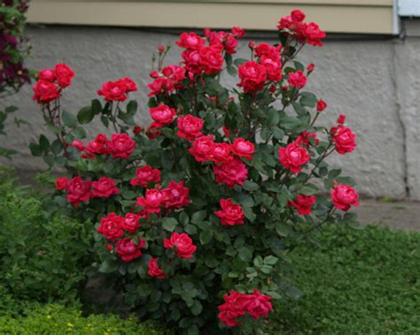 double knock out roses not blooming the garden lady