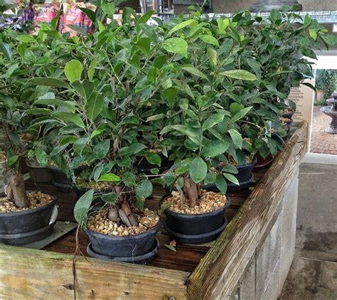 bonsai da interni ficus microcarpa ginseng ficus microcarpa ginseng