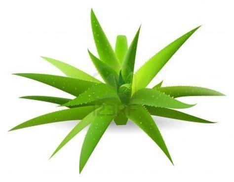 aloe verde recetas caseras para hacer crecer pelo archives mujer chic
