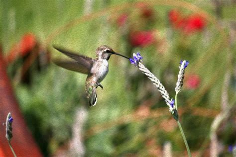 baby hummingbird feeding photograph by veronica vandenburg