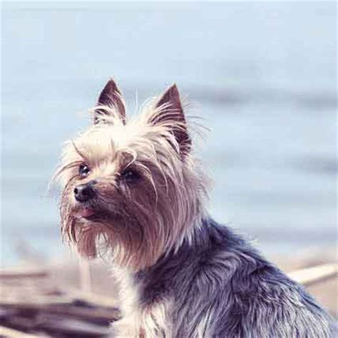 yorkie health concerns articles on terrier health and trainingyorkshire terrier breeds picture