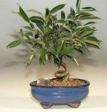 bonsai da appartamento bonsai ficus benjamin bonsai ficus bonsai ficus benjamin