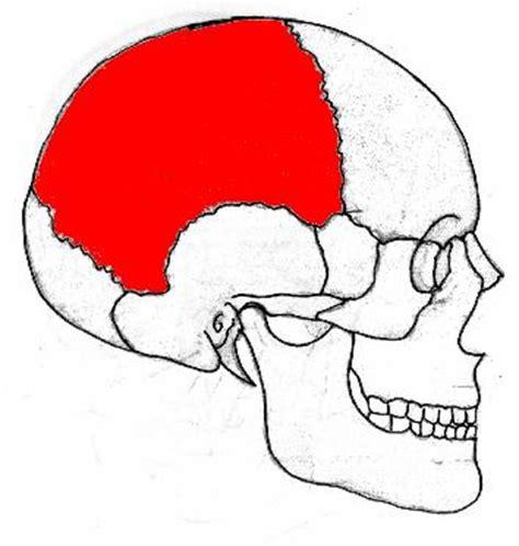 imagenes de huesos temporales descripci 243 n c 237 ngulo escapular