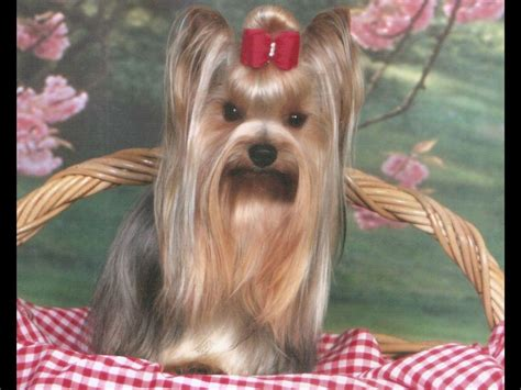 akc yorkie breeders in florida bordelon terrier puppies for sale