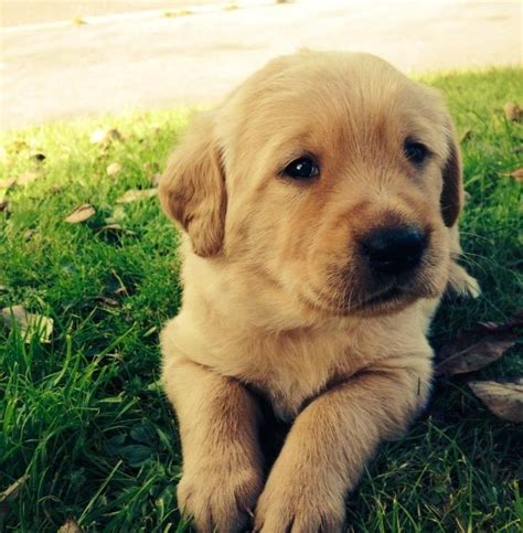 golden retriever lab puppy golden retriever fox lab puppies dorchester dorset pets4homes