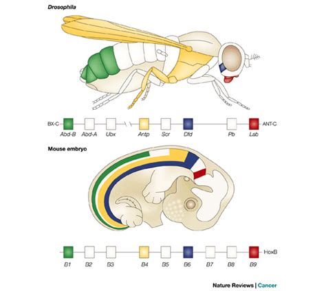 Fruit Flies In Drain Homeobox Gene Causes Symptoms Treatment Homeobox Gene