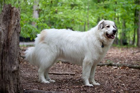 great pyrenees rescue provides wonderful dogs to good homes great pyrenees wikipedia