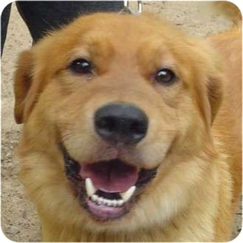 golden retriever rescue toledo ohio golden retriever rescue oh