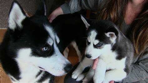 buy husky puppies siberian husky puppy meets his