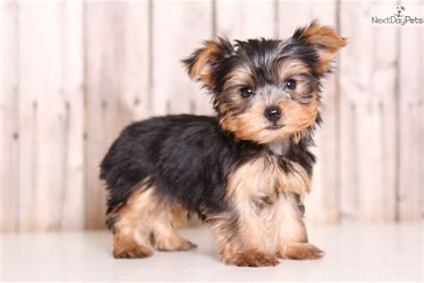 goldenray yorkies yorkie breeders akc yorkie puppies for howie yorkshire terrier yorkie puppy for sale near