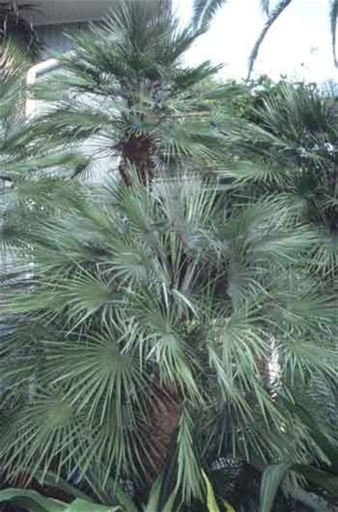 blue mediterranean fan palm for sale the s catalog of ideas