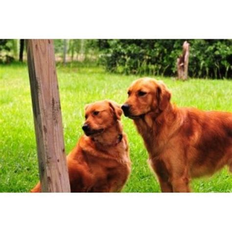 golden retriever louisiana puppies in louisiana golden retriever breeder in amite louisiana