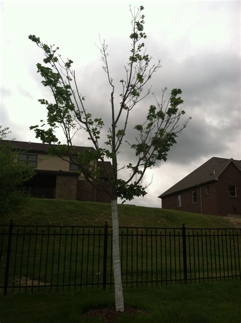 maple tree decline maple trees in decline ask an expert