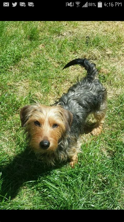 yorkie x dachshund yorkie x dachshund looking for new forever home basildon essex pets4homes