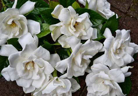 gardenia flowers wedding flowers from springwell gardenias for white bouquets