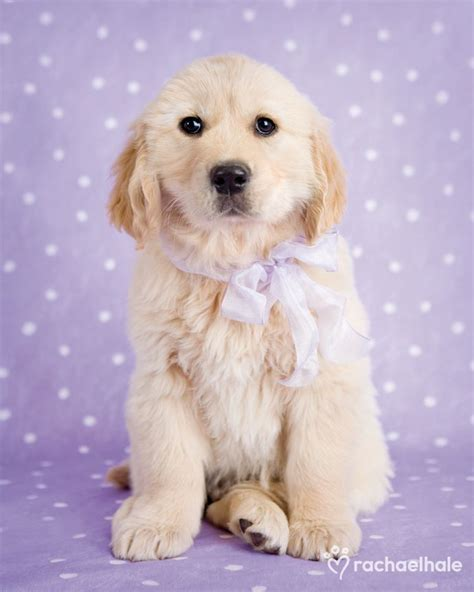 golden retriever gifts uk 250 best rachael hale animals images on animal paintings animal pictures