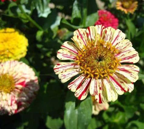 fiori zinnie z di zinnie fiori resistenti per giorni adatti a