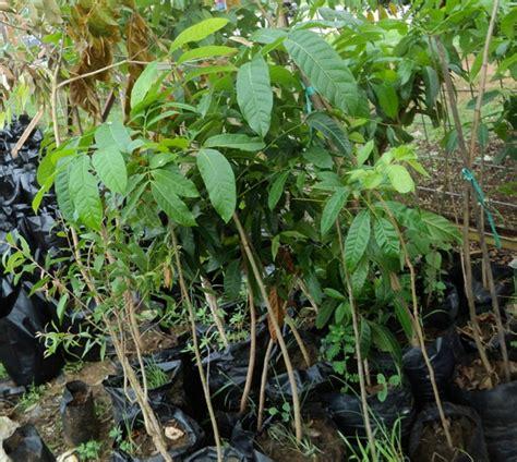 Bibit Tanaman Asam Jawa Banyak Manfaat kala pemkab merauke bagi bagi bibit pohon lindung mongabay co id