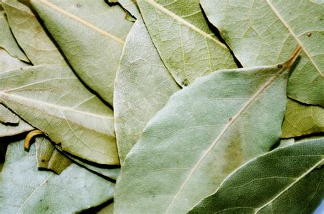 Pantry Moths Bay Leaves by The Overlooked Plant That Keeps Bugs Out Of Your Pantry