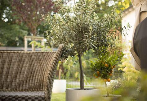 baum im garten pflanzen 2760 olivenbaum alles zum pflanzen pflegen 220 berwintern