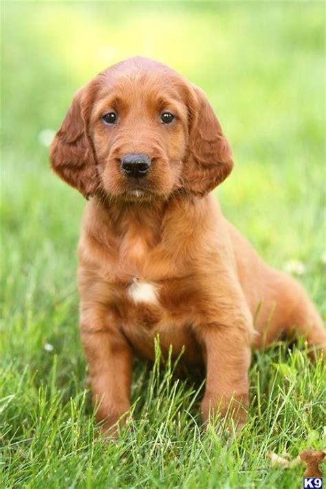 irish setter dog movie 72 best images about irish setter on pinterest on