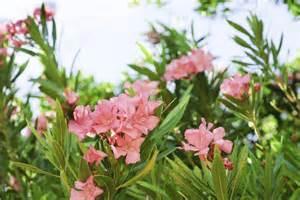 Getting Rid Of Garden Pests - getting rid of oleander plants tips on oleander bush removal