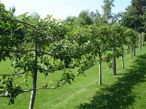 flat fruit trees ongardening com