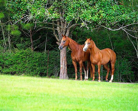 imagenes de verdes praderas banco de im 193 genes caballos pura sangre en las verdes praderas