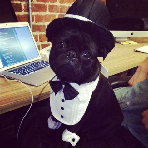 dapper pug 17 best images about pug litious on a pug and pug