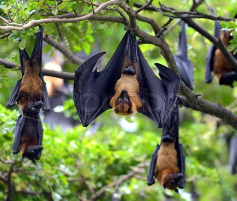 black flying foxes pteropus alecto hanging   tree