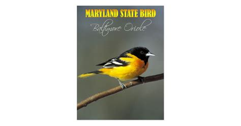 maryland state bird baltimore oriole postcard zazzle
