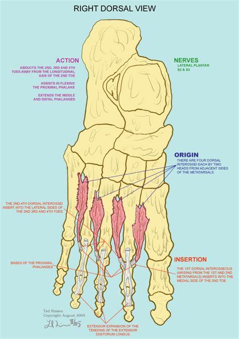 Inner Knee Anatomy