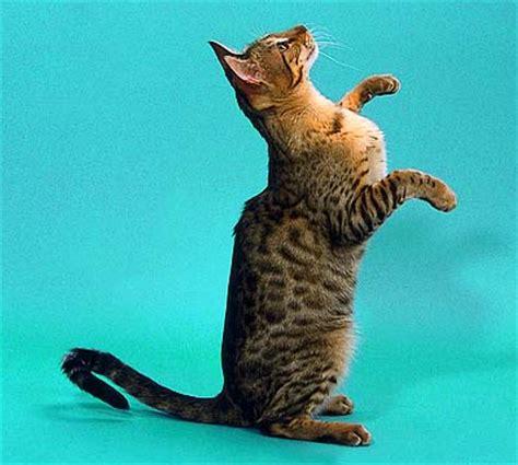 Savana Azhima f3 cat virginia s ashiki azima of savannicas