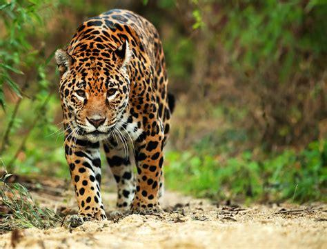 imagenes del jaguar animal jaguar pieza clave para mantener equilibrio ambiental