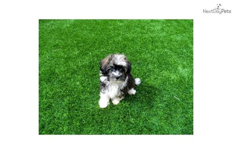 tiny havanese mini havanese puppies for sale breeds picture