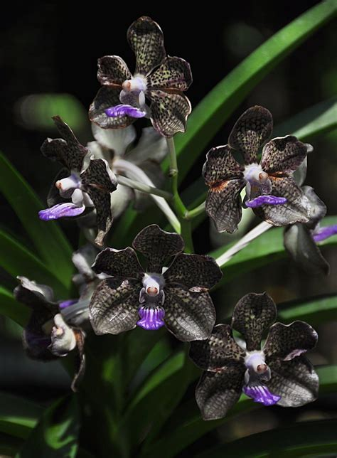black orchid flowers orchidaceae orchid family on pinterest