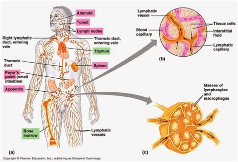 lymph nodes of the diagram cook ding s kitchen neigong demystified