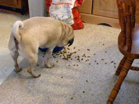 can pugs eat cheese lazy funnydog tv
